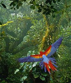Photograph:A scarlet macaw (Ara macao) flies through a forest in Costa Rica. The country is home to more than 750 species of birds.