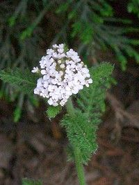 Yarrow is widely used in herbal medicine to help digestion, improve circulation, heal wounds and alleviate coughs and colds.