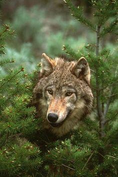 Beautiful wolf- peek a boo