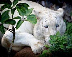 ~~Sneak up ~ white tiger by Klaus Wiese~~ Beautiful Cats, Animals Beautiful, Funny Animals, Cute Animals, Funniest Animals, Wild Animals, Baby Animals, Albino, Lynx