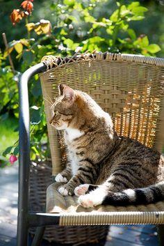 Backyard Kitty in her chair, hmm ..