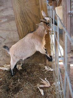 Urban Goat Keeping: Things You Should Know Before You Get Your First Kid