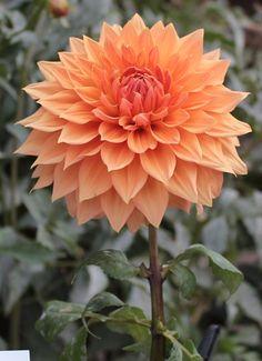 Exotic Flowers, Orange Flowers, Beautiful Flowers, Dahlia Flower Pictures, Dahlia Flowers, Planting Fruit Trees, Planting Flowers, Unique Plants, Funeral Flowers