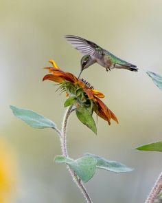 Take a look at this beautiful image of a Ruby-throated Hummingbird taken at Coverdale Farm yesterday by Hank Davis. Amazing!