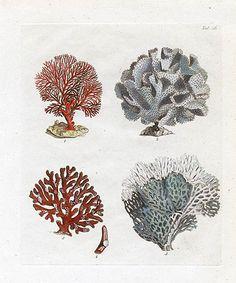 John Ellis Coral Prints 1776
