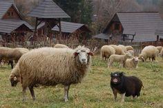 pig vs sheep         farm fight