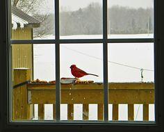Cardinal ~ Window~cl