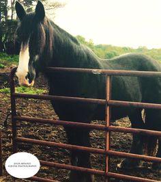 {Julia Arnold Equine Photography} Jake, the rescue English Shire Horse. {jaequinephotography.wordpress.com} #horses #photography #equestrian #equinephotography