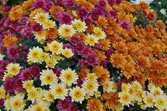 """Different colors of chrysanthemums Chrysanthemum x morifolium,"" by Jebulon"