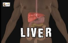 Liver anatomy and function | Human Anatomy and Physiology video 3D anima...