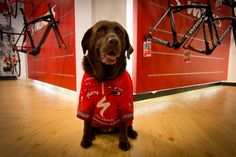 Bramley, Specialized Concept Store Birmingham mascot  Do you have a furry #SpecializedPet?    Share your photos with us... please