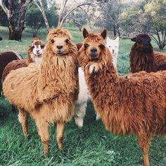 Hey Gang!  #happyhumpday  #alpaca (Ph. by @ameliabarnes)