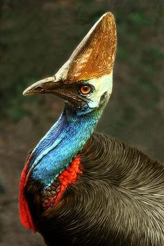 A Cassowary - like a living dinosaur!  can kill a man with their huge claws.....keep away from them esp if they have young.....