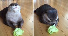 Dieser Otter frisst Salat und ist überglücklich!