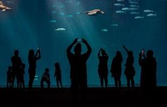 Glide By Shooting: Visitors to the Monterey Bay Aquarium shoot photos of a Pelagic Stingray #aquarium #montereybayaquarium #montereyca #openocean #Leicaphotography #iphoneography #family #stingray #montereylocals - posted by Tom Raymond https://www.instagram.com/frshairphoto - See more of Monterey, CA at http://montereylocals.com