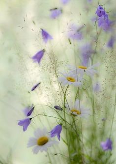 ❀ Bluebell (Campanula rotundifolia) ..typical Finnish wild flower