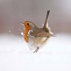 European Robin:questo e' il pettirosso che ogni anno , in autunno arriva nel mio giardino e rimane con me per tutto l'inverno...