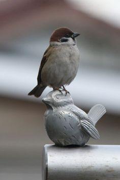 スズメ / a sparrow on a sparrow Funny Birds, Cute Birds, Pretty Birds, Small Birds, Little Birds, Colorful Birds, Beautiful Birds, Animals Beautiful, Sparrow Nest