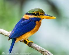Stunningly beautiful male Rufus Collard Kingfisher