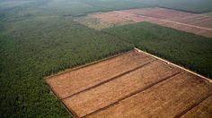 Indonesia clona árboles para fabricar papel