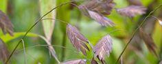 Chasmanthium latifolium (PLataargras), Een sierlijk gras met platte bloemaren in hangende trossen, op droge plaats, voedselrijke grond, terugknippen na de winter, bij strenge vorst afdekken