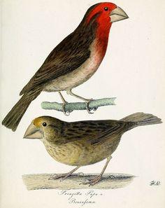 8825. Bonin Grosbeak (Chaunoproctus ferreorostris) | Ogasawara Islands (Japan)