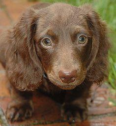 . Fluffy Animals, Baby Animals, Cute Animals, Long Haired Dachshund, Dachshund Love, Weenie Dogs, Doggies, Hot Dog Stand, Crazy Dog Lady