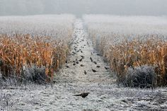 pheasants eating seeds in the winter. credit luca-jphotography.