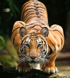 Tiger photography Gluten Free Recipes big y gluten free Nature Animals, Animals And Pets, Cute Animals, Wildlife Nature, Wild Animals, Baby Animals, Beautiful Cats, Animals Beautiful, Big Cats