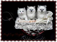 Blue Bicolour and 2 Blue point baby Ragdolls Blue Point, Angel Eyes, Owl, Clip Art, Bird, Animals, Cats, Flowers, Animales