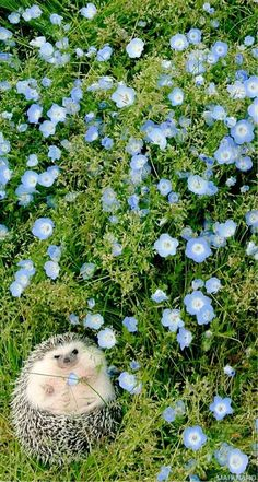 hedgehog !