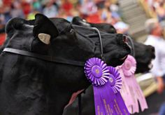 World Dairy Expo photo<<my cousin won grand champion in 2003. Her cow just died this year