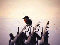 Kingfisher. #Carpfishing #RichardHandel. Com