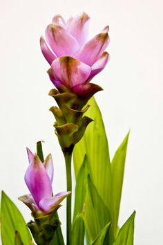 Curcuma longa (tumeric) - A member of the ginger family,tumeric is reported to prevent and treat a number of conditions including depression, diabetes, Alzheimer's, certain cancers, staph infections, MS, heart disease, and arthritis. It has fantastic anti-inflammatory properties!