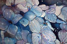 Blue hydrangea, watercolor painting - closeup by jane-beata.deviantart.com on @deviantART