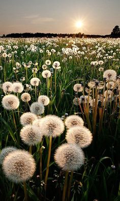 Flowers Photography Wallpaper Nature Fields 52 Ideas For 2019 Flowers Photography Wallpaper Nature Fields 52 Ideas For 2019 The post Flowers Photography Wallpaper Nature Fields 52 Ideas For 2019 appeared first on Fotografie. Jolie Photo, Pretty Pictures, Flower Pictures, Dandelion Pictures, Mother Nature, Aesthetic Wallpapers, Flower Power, Beautiful Flowers, Flowers Nature
