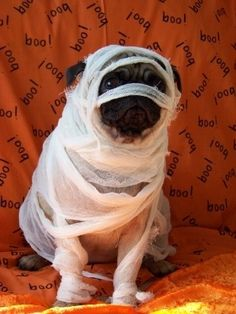 Mummified!! #Pug #Dog #Mummy #Halloween #Costume #Cute #Funny