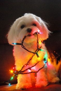 Cute white puppy in colorful lights....