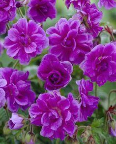 Perennat: valtava valikoima uutuuksia ja suosikkeja - Viherpeukalot.fi Perennial Geranium, Hardy Geranium, Wonderful Flowers, Good Morning Flowers, Love Flowers, Purple Perennials, Container Plants, Plant Containers, Flowers