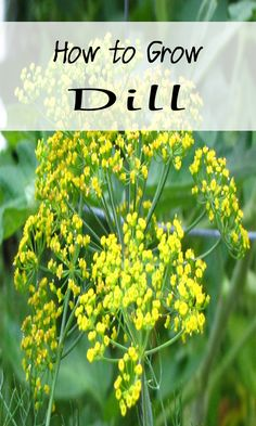 How to Grow Dill