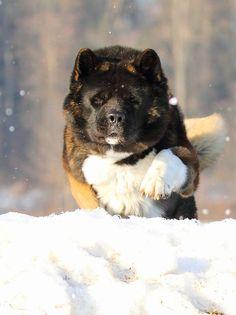 Akita http://puppies.host/Puppies/