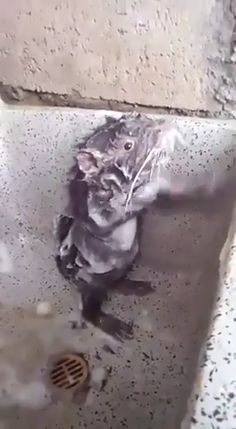 ~Hilarious~ rat washing itself 🤣 🤣 - - ~Hilarious~ rat washing itself 🤣 🤣 hannah hübsch# lustig # urkomisch # rat # ratvideos # foru # ratlover # tierliebhaber # bestvideos # trendvideos # videofday Animal Jokes, Funny Animal Memes, Funny Animal Pictures, Funny Dogs, Funny Babies, Cute Little Animals, Cute Funny Animals, Cute Cats, Cute Animal Videos