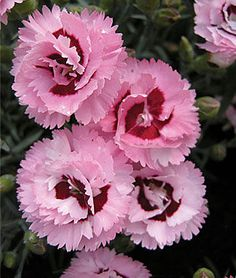 Dianthus Raspberry Surprise Seeds and Plants, Perennnial Flowerss at Burpee.com
