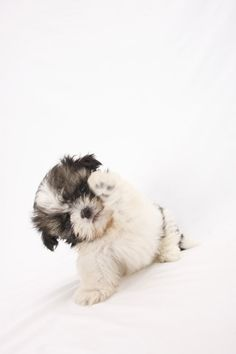 More About Playfull Shih Tzu Puppies And Kids Cute Baby Dogs, Cute Little Puppies, Cute Dogs And Puppies, Cute Little Animals, Shih Tzu Hund, Shih Tzu Puppy, Shih Tzus, Baby Animals Pictures, Funny Animals