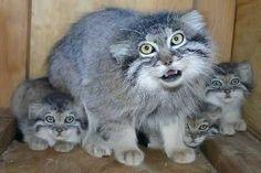 Pallas' Cat / Manul (Otocolobus manul)