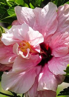 Pink Hibiscus Beautiful gorgeous pretty flowers