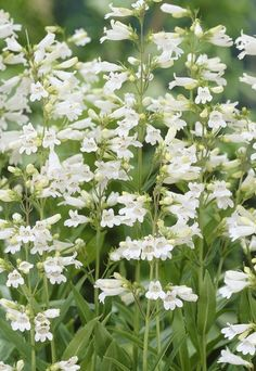 White Penstemon -- for the Hummingbirds; leaves/stems can be steeped to make tea for heart health