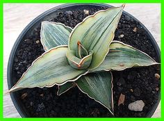 Sansevieria white powellii variegated plants 虎尾兰 サンセベリア虎尾蘭 A1