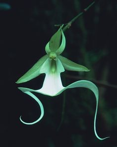 Ghost Orchid by Jeff Ripple--one of many strange-looking orchids that orchid fanciers fancy.