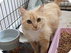 Meet Inez, an adoptable Norwegian Forest Cat looking for a forever home. If you're looking for a new pet to adopt or want information on how to get involved with adoptable pets, Petfinder.com is a great resource.